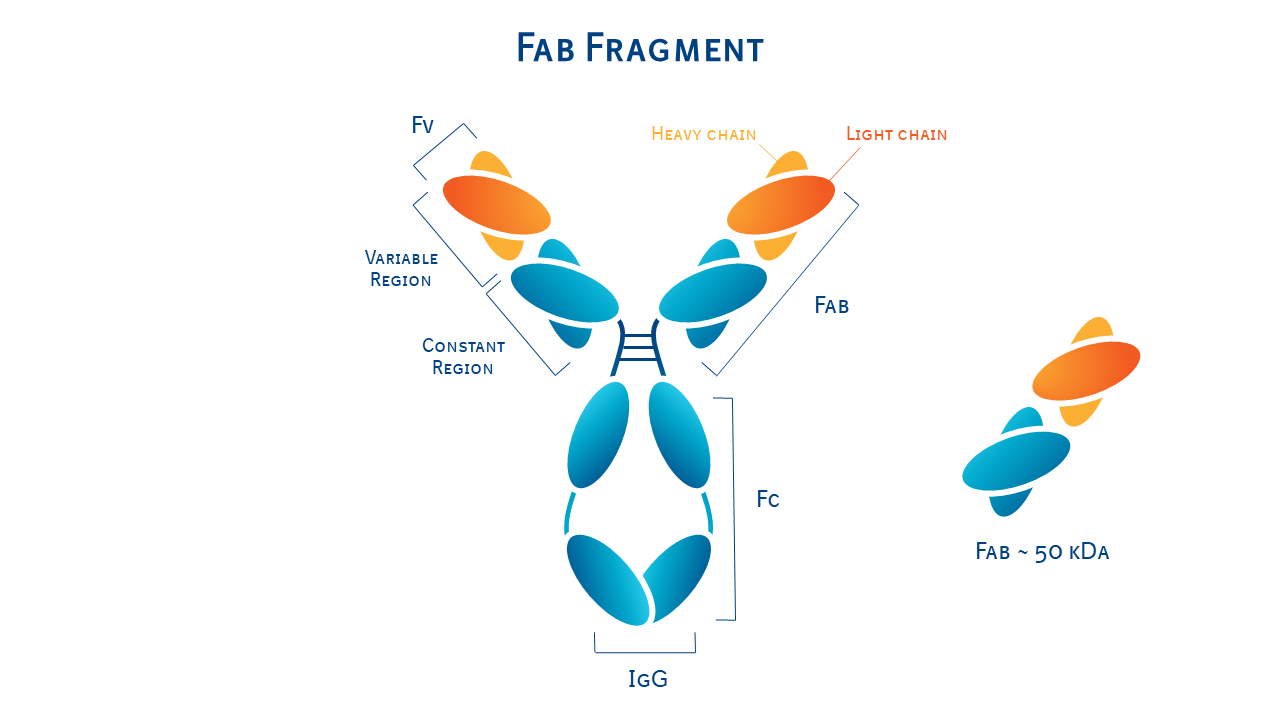 Molecule structure of an antibody fab fragment.